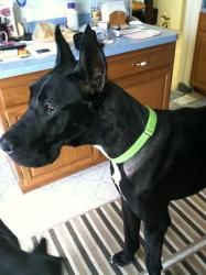Keno Is An Adoptable Great Dane Dog In Waterville Oh Keno Came
