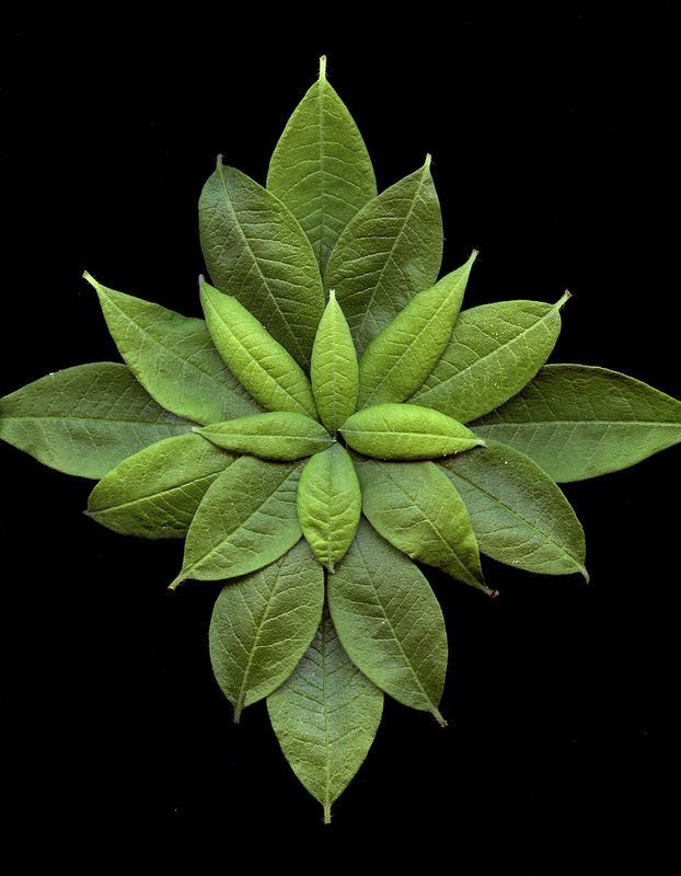 ˚Rhododendron Leaves
