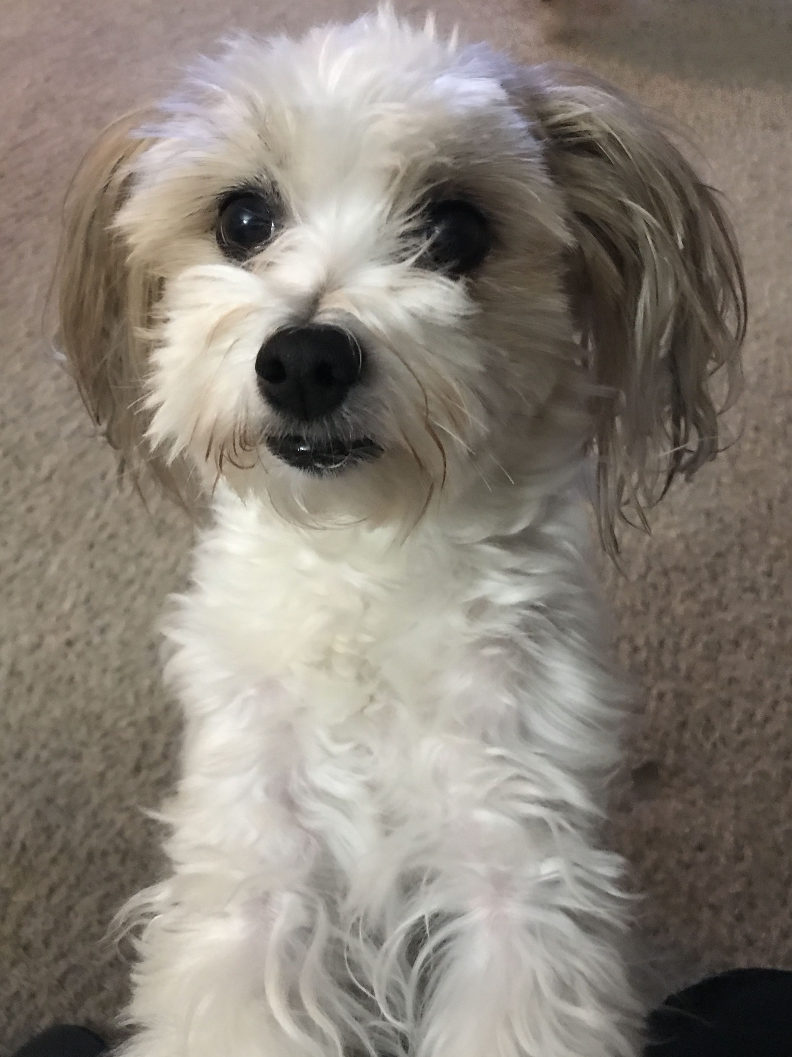 Maltese Shih Tzu Mix Exactly What Beasley Looked Like As A Puppy
