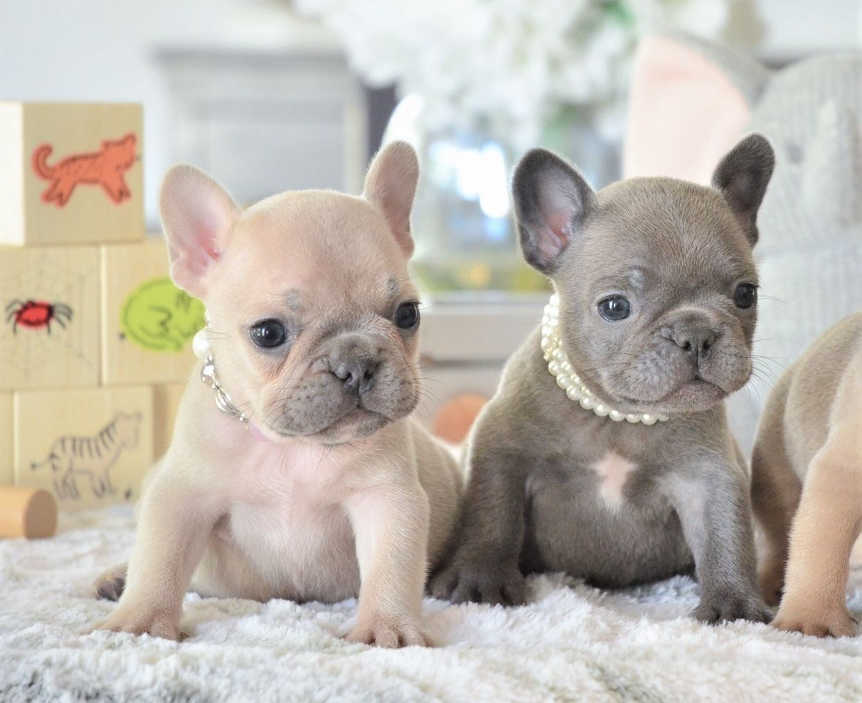 "hope & star such tiny little frenchie girls 💝"" 📲 www"
