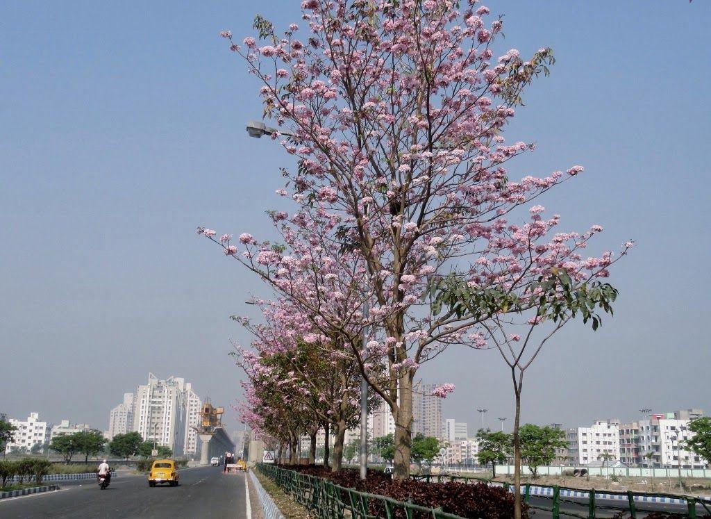 Tabebuia Rosea In Full Bloom At New Town Kolkata West Bengal India Courtesy Wbhidco Ltd New Town Bloom Nature