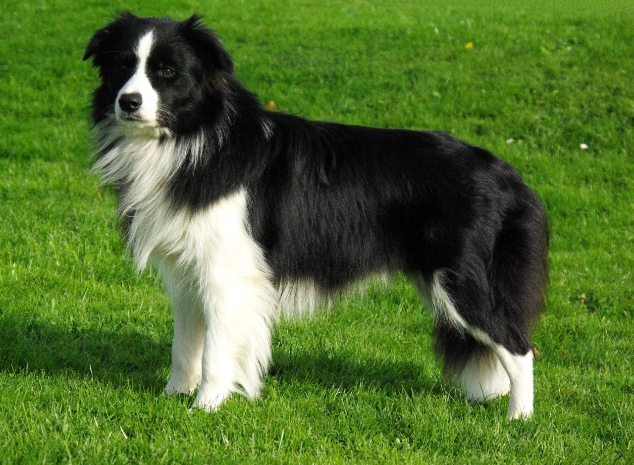 Black And White Border Collie At Stud 51ee9d6a25c29 Jpg Collie