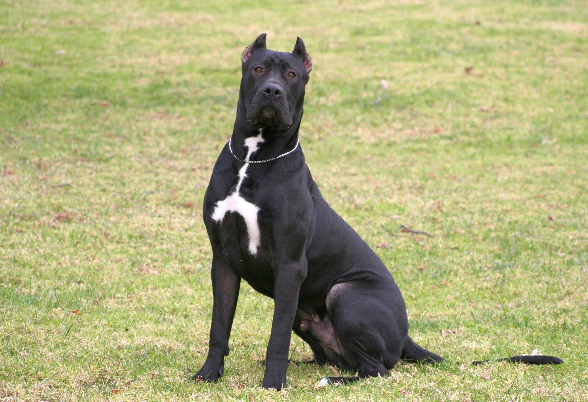 Dog Kanaryjski In 2020 Zwierzeta Rasy Psow Psy
