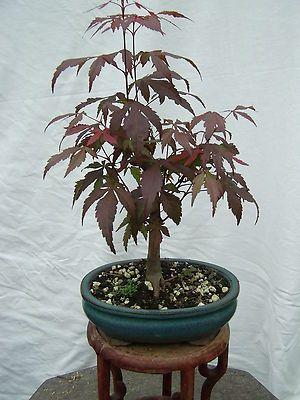 Acer palm. Nigrum roter japanischer Fächerahorn