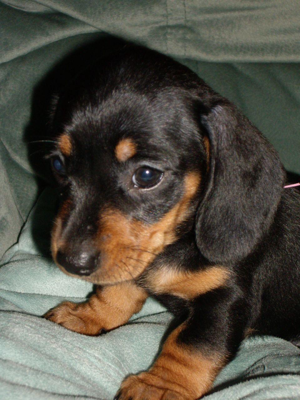 Black And Tan Dachshund Puppy Mini Shorthaired Dachshund Black