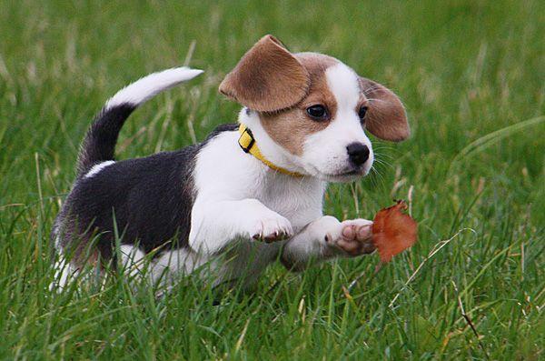Steckbrief Der Beagle Lieber Kerl Mit Schlappohren Ich Liebe