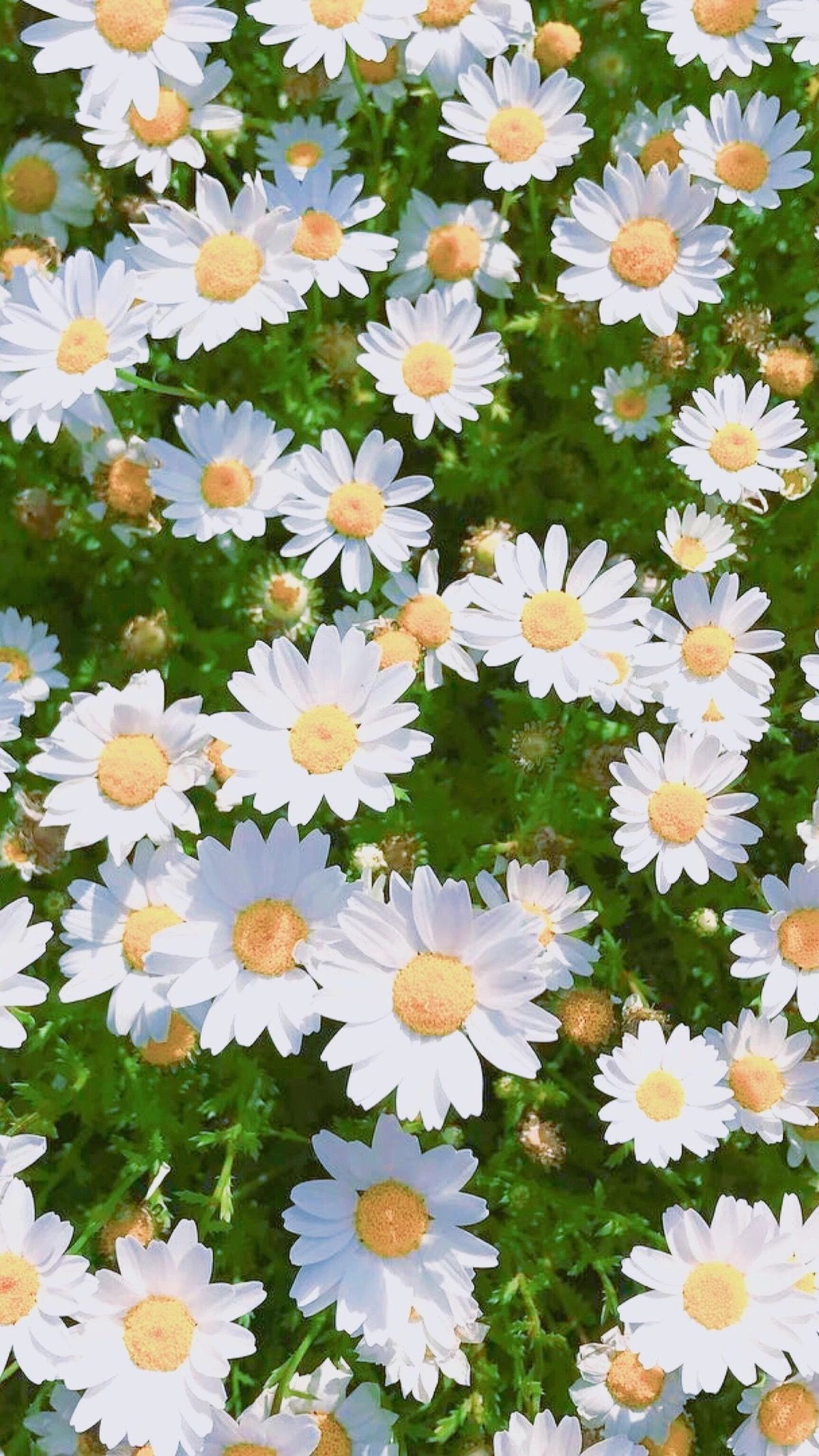 Daisies daisy flowers white colours wallpaper tumblr f daisies daisy flowers white colours wallpaper tumblr izmirmasajfo