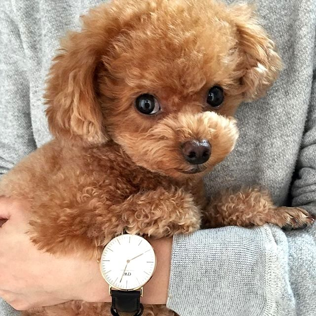 Give Him A Hug And Cheese Poodle Puppy Cute Dogs Puppies