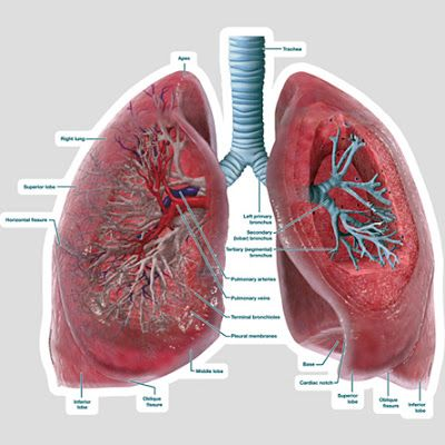 Lungs Cross Section Labeled Body Diagram Diagrams