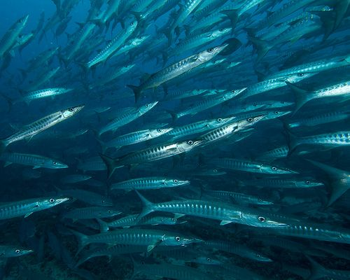 Barracuda can grow up to nearly seven feet long.They surprise their prey by lying in wait, then burst out to chase the prey before using their sharp teeth to make the catch. Barracudas mainly eat different types of fish, but have been known to bite other large marine animals, as well as humans.