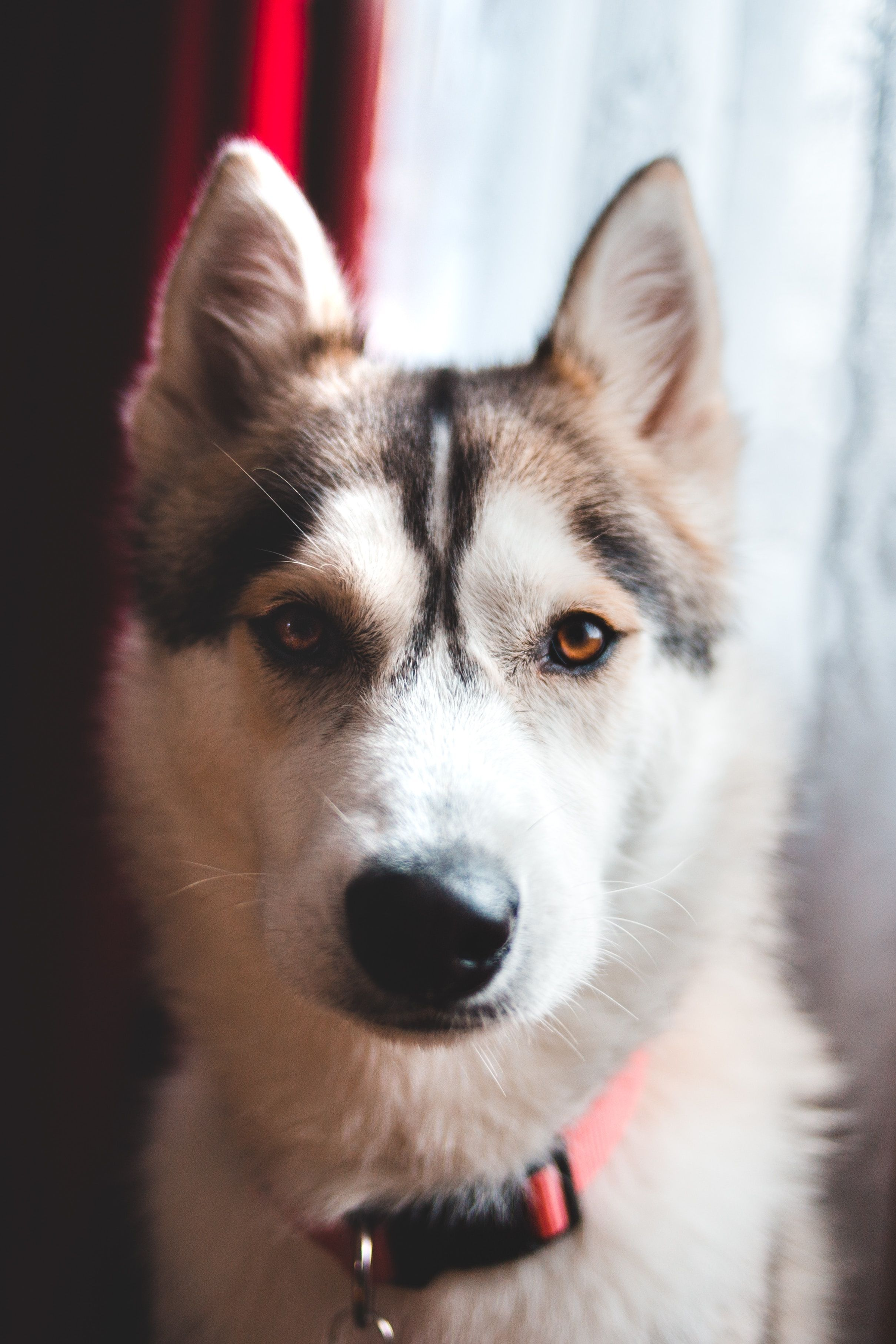 Huskies Are The Best If You Would Like To Know More About Huskies
