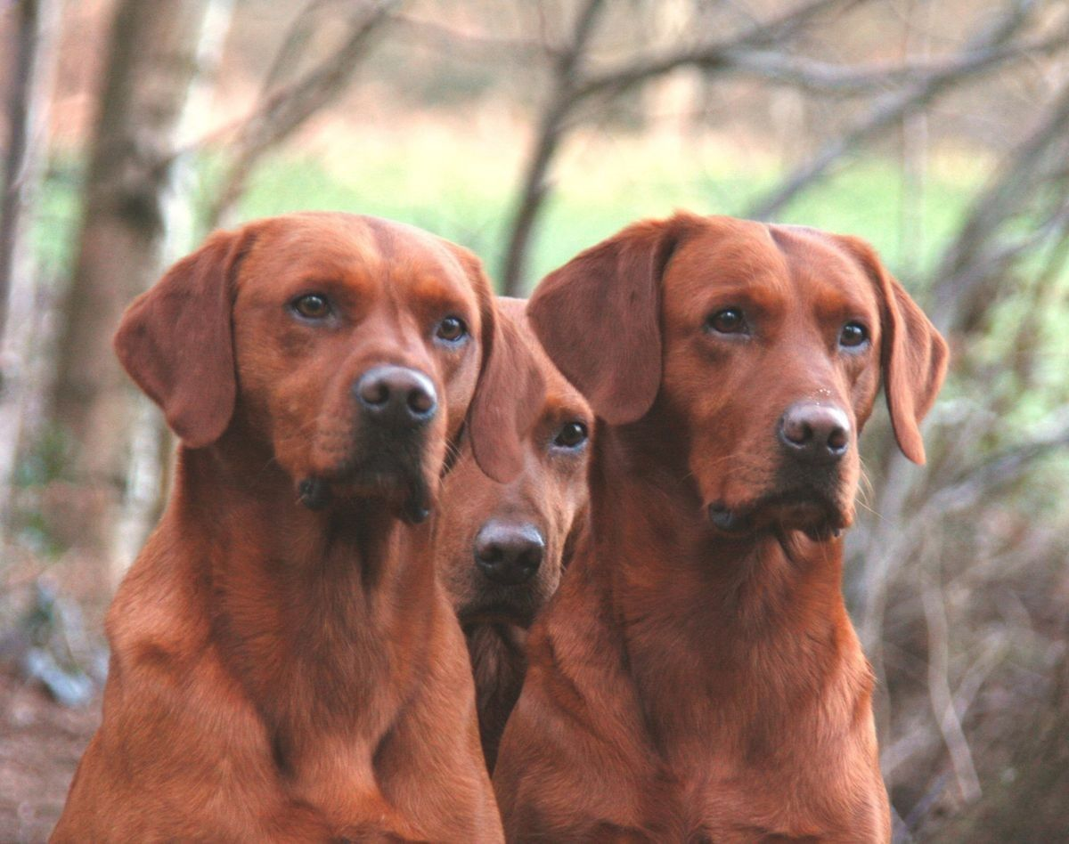 Pin By Sarah Bartlett Red Pebble Doul On The Dogs Lab Dogs Dogs Hunter Dog