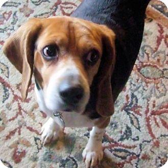 Novi Mi Beagle Meet Audrey A Dog For Adoption Http Www Adoptapet Com Pet 10812116 Novi Michigan Beagle Dog Adoption Pets Adoptable Beagle