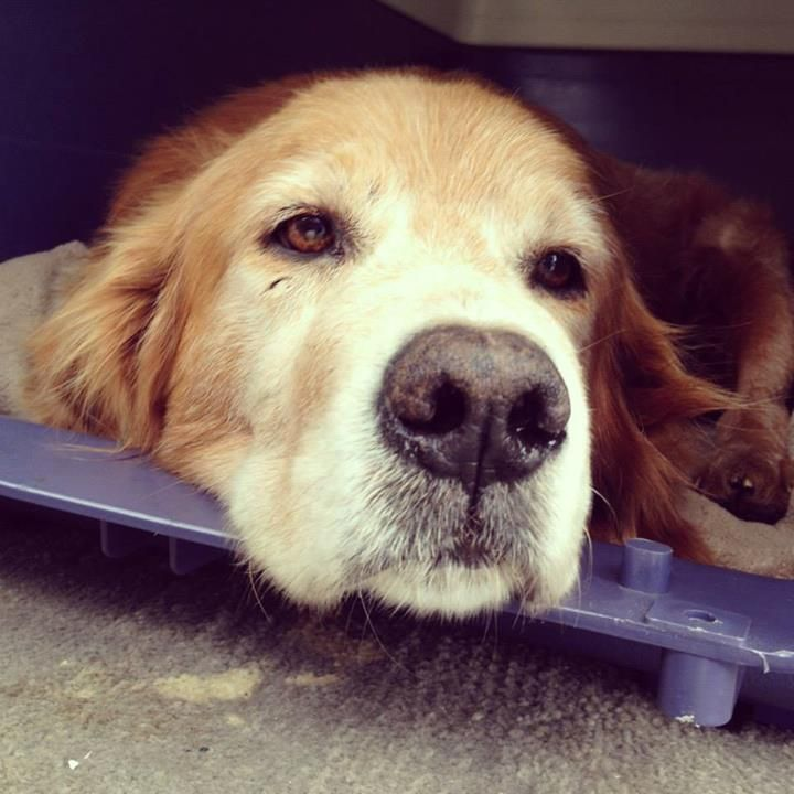Pin By Karen Hopkins Tierney On Goldens Love Old Golden