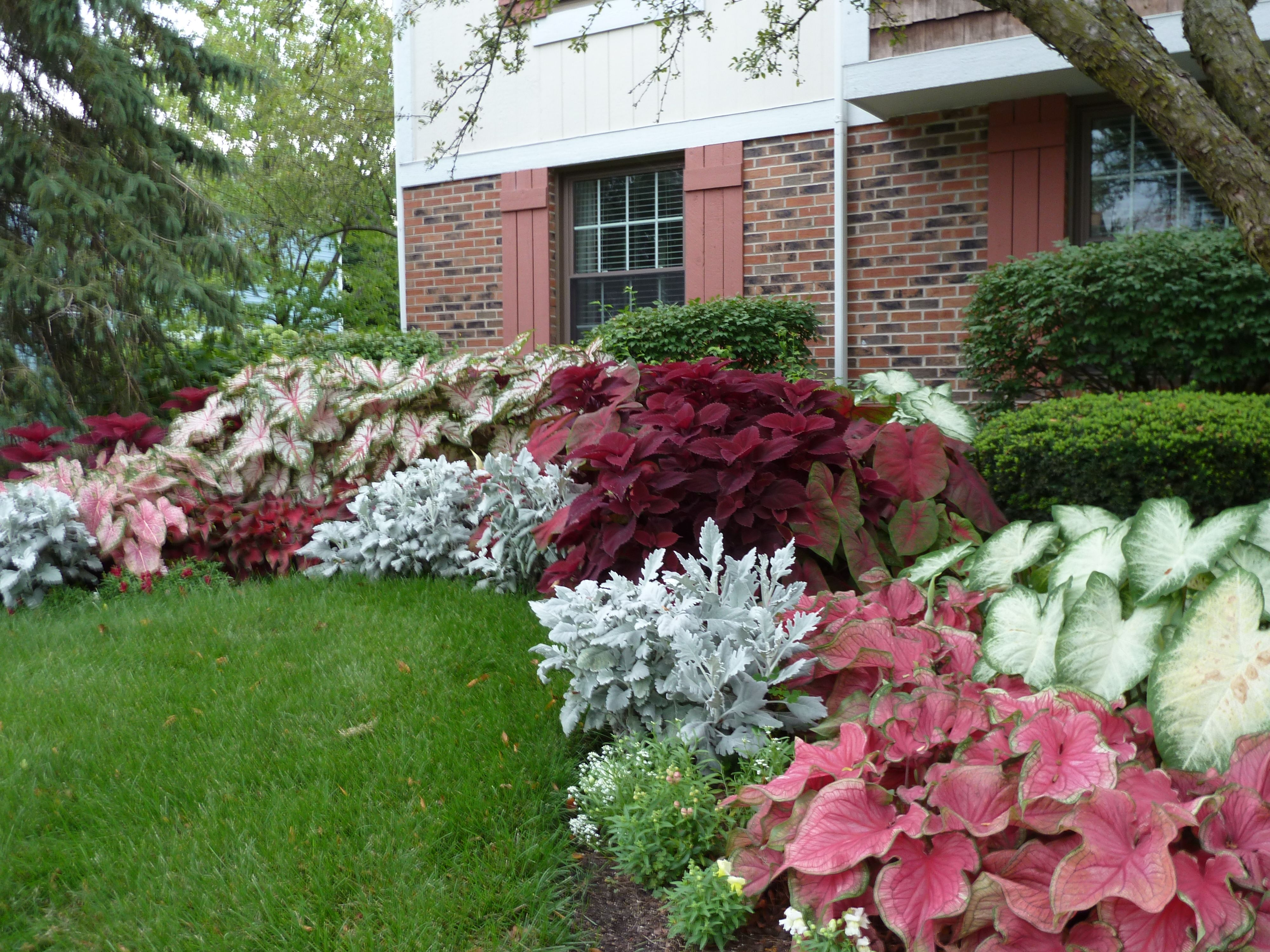 Caladiums  Shade plants, Shade garden, Shadow plants
