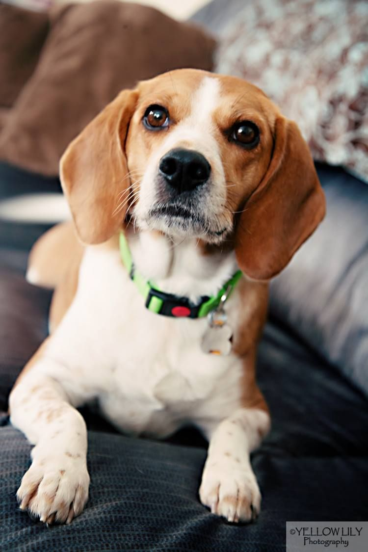 Bones Is A 4 Year Old Beagle Who Was Surrendered By His Owner Due