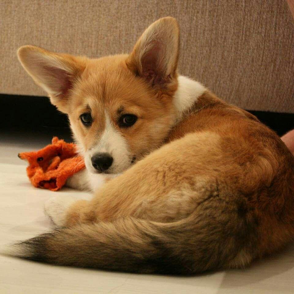 Little Miss Foxy Corgi Dog Corgi Corgi Tail