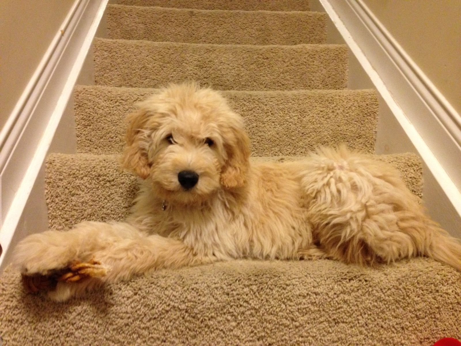 We Need A Golden Doodle In Our Home Super Cute Dogs
