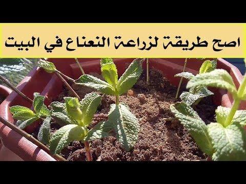 طريقة زراعة النعناع فى المنزل الأسهل و الأصح Youtube Garden Room Plants Garden