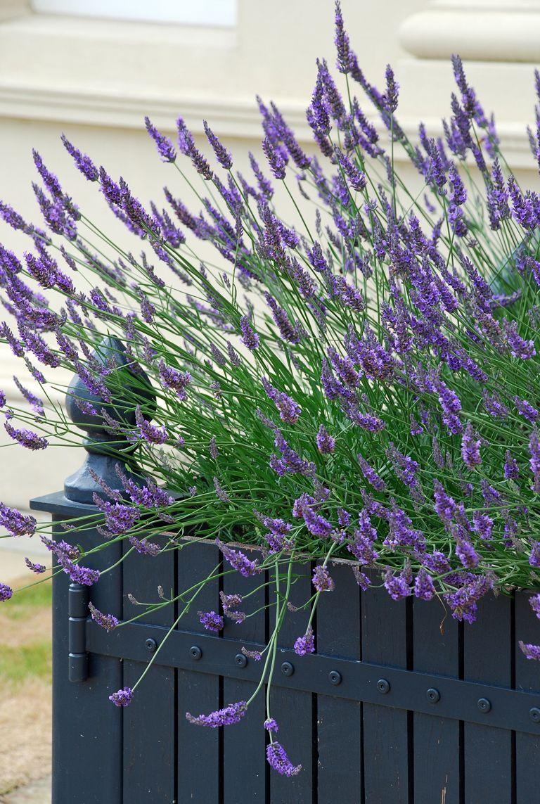 lavender in planter google search dwhite pinterest lavande et provence. Black Bedroom Furniture Sets. Home Design Ideas