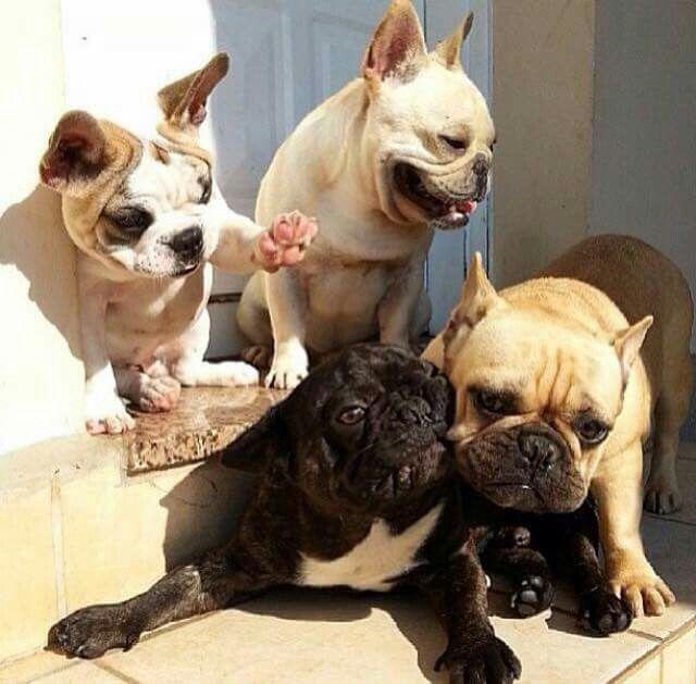 French Bulldogs Playing At Full Speed Bulldog French Bulldog