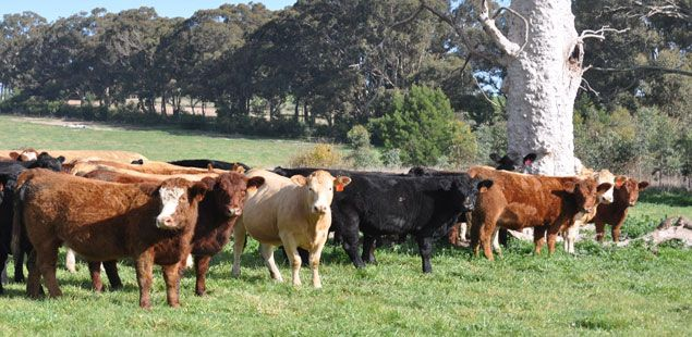 USA | ABS Global, Inc bulls | Beef | Beef, Cow, Abs