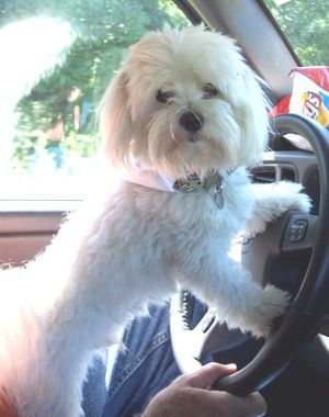 Maltese What R U Looking At I Told U I Was Driving Now Get In We