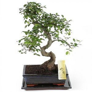 Bonsai Zelkova S 25cm Forma Bonsai Ficus Planten