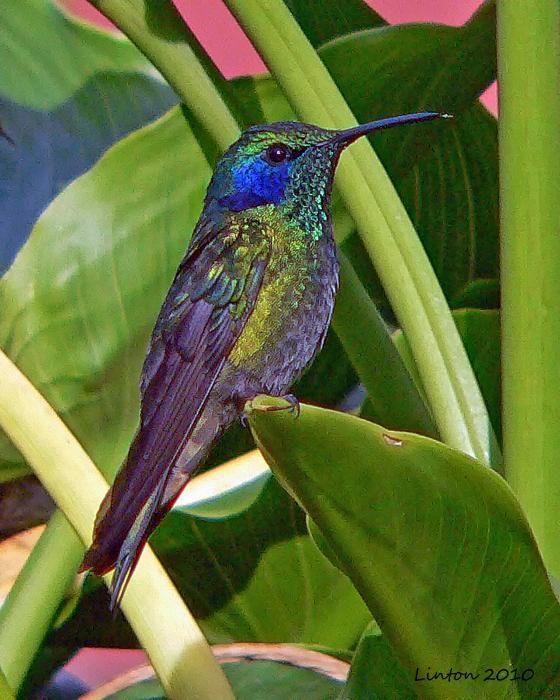 Intense color Hummingbird L.Linton