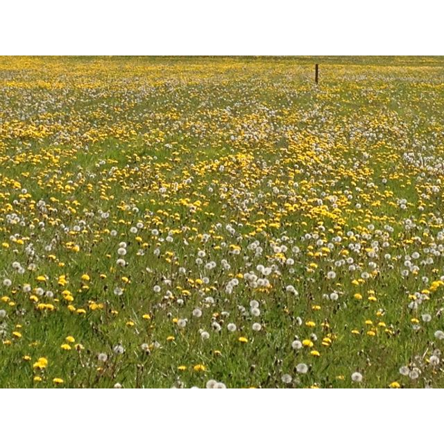Field of dandelions. Make a wish