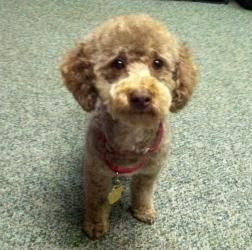 Adopt Hot Koko On Shelter Help Dog Sounds Puppy Mills Poodle