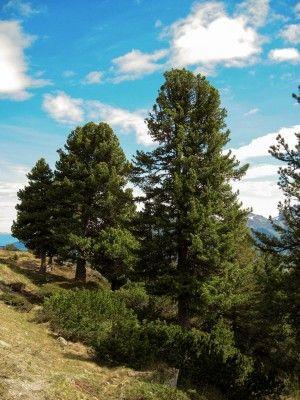 Kraft Der Zirbe Eigenschaften Des Zirbenholzes Zirbenlufter Zirben Bilder Natur