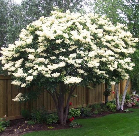 Ivory Silk Japanese Lilac Tree Backyard Trees Backyard Plants Japanese Lilac Tree