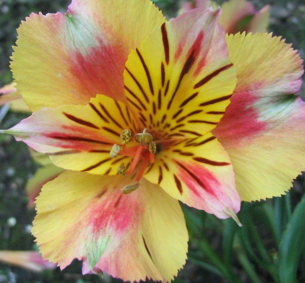 Pin by lakisha caldwell on green thumb pinterest peruvian lilies peruvian lily alstroemeria litgu dr salters hybrid mix cut flower seed izmirmasajfo