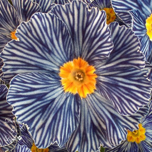 The Zebra Blue Primrose is not color enhanced.... this is the way they grow.