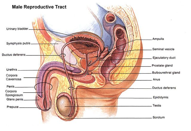 Male Reproductive System Diagram Glands Radio Wiring Diagram