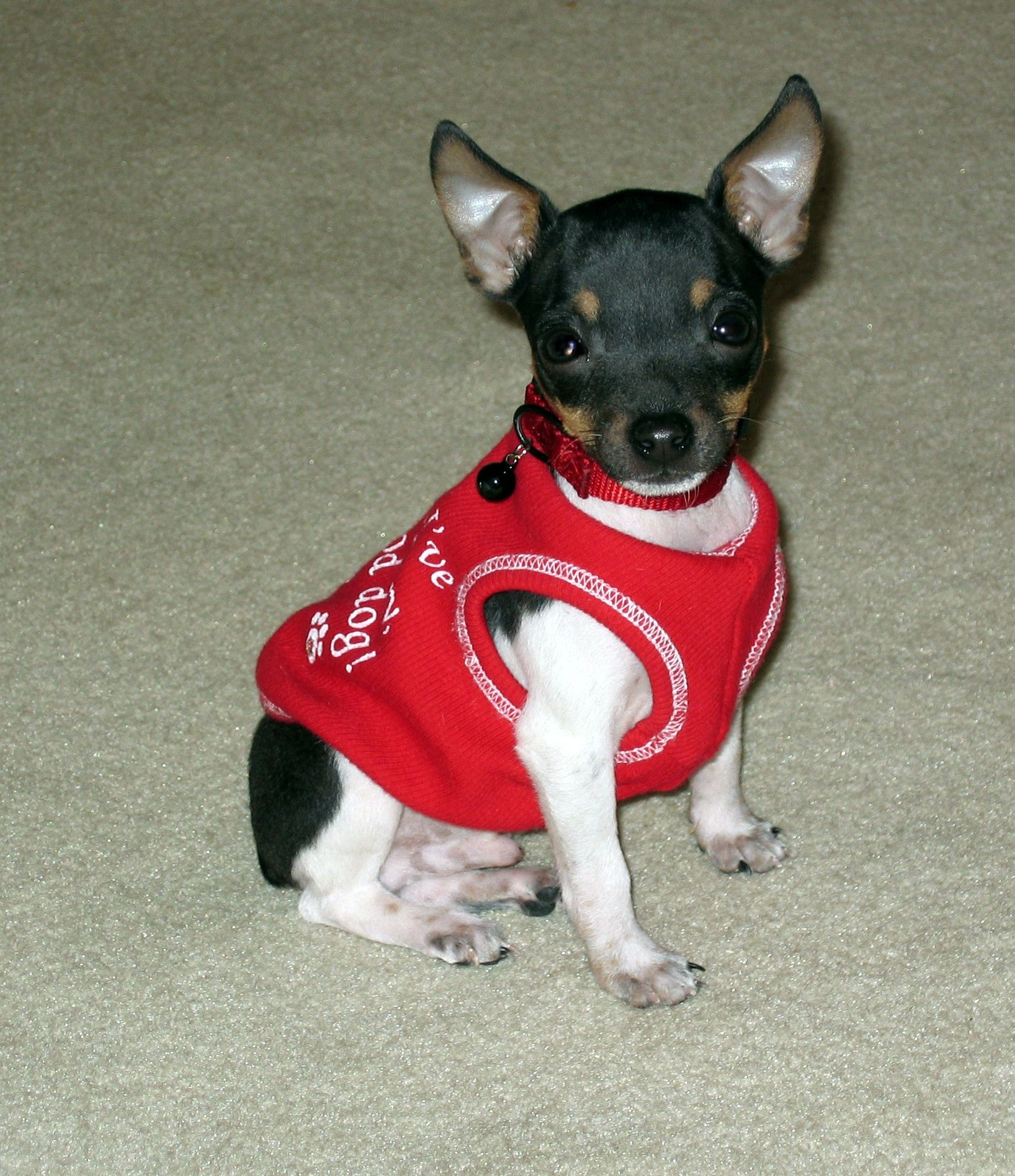 Toy Rat Terrier Puppy Oliver In Honor Of Ollie And Moose 3