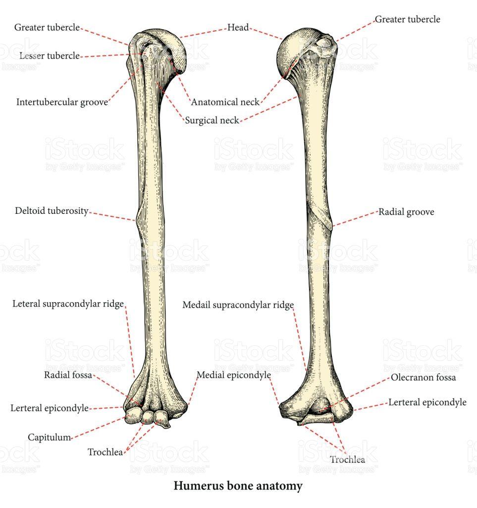 Anatomy Of Upper Human Arm Bones Hand Drawing Vintage Style Human