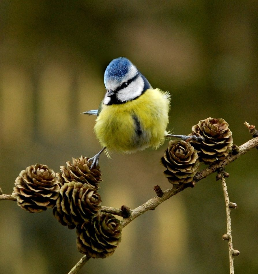 Blue Tit on larch cones by John Robinson on 500px