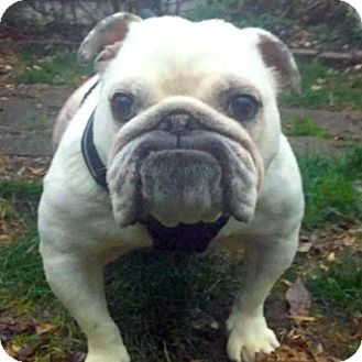 Pin By Barry Stritton On Bull Dogs Pets Cute Bulldogs Dog Lovers
