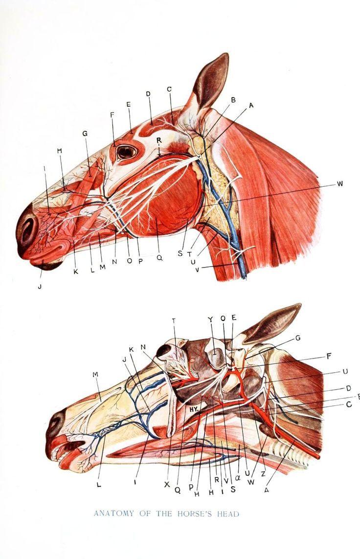 Skull anatomy   Interesting Equine Things   Pinterest   Skull ...