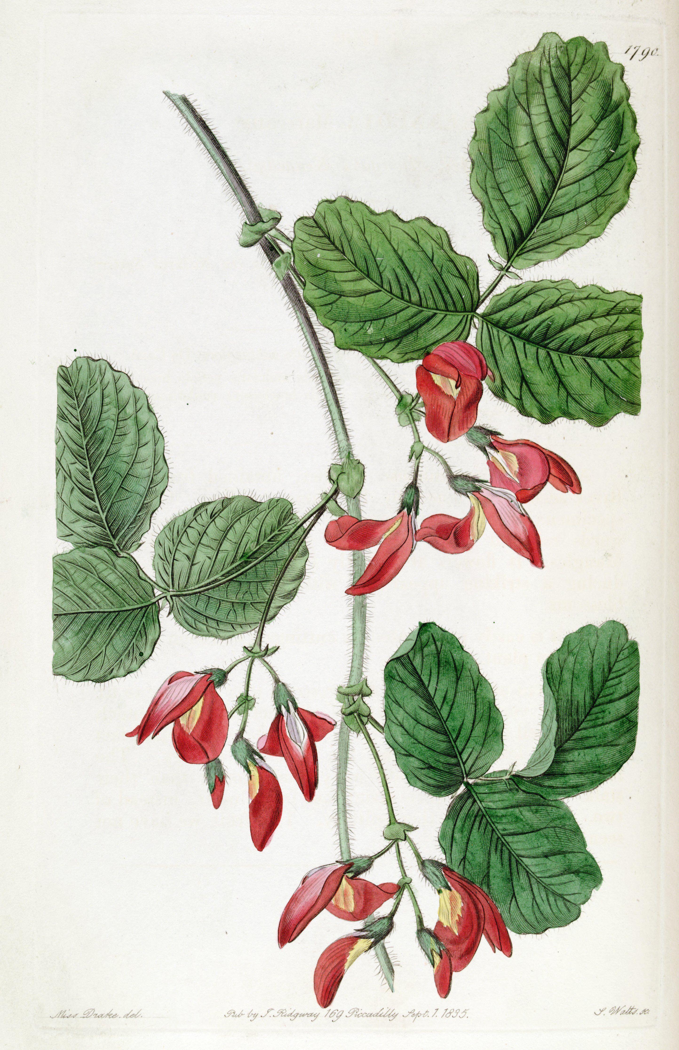 Augusta Kennedia - Kennedia macrophylla - circa 1836