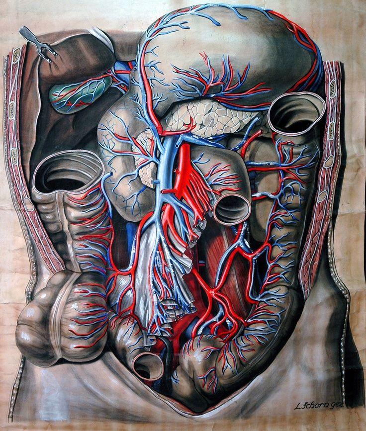 Diagrama anatómico del abdomen de Elisa Schorn, (1900). De la ...