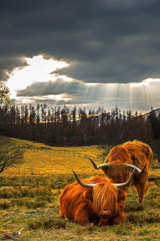Una preciosidad.. Los animales en las praderas de Highland Cows en Escocia..