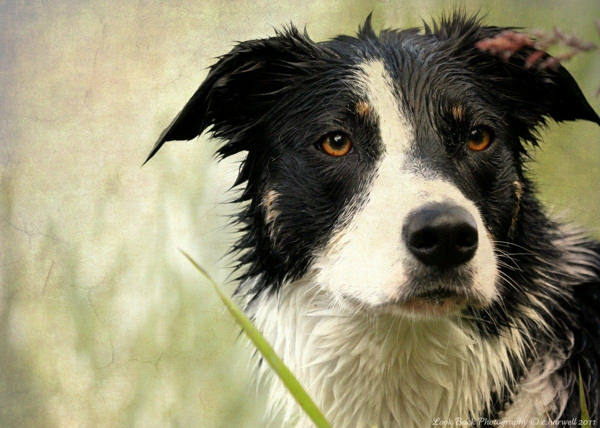 Border Collie (With images) Dog obsessed, Dog love