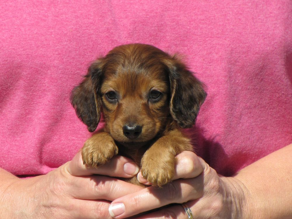 Austin Red Dachshund Puppy Dachshund Puppies