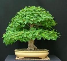 This Is The Kind Of Maple I Have For My Bonsai Attempt Norway Maple Bonsai Seeds Bonsai Tree Types Bonsai Tree