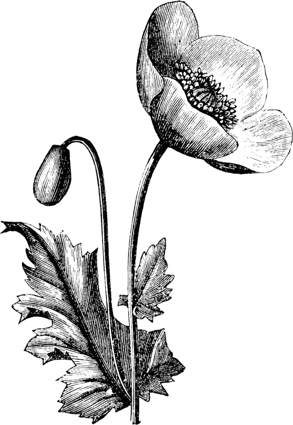 хрупкий цветок рисунок всем