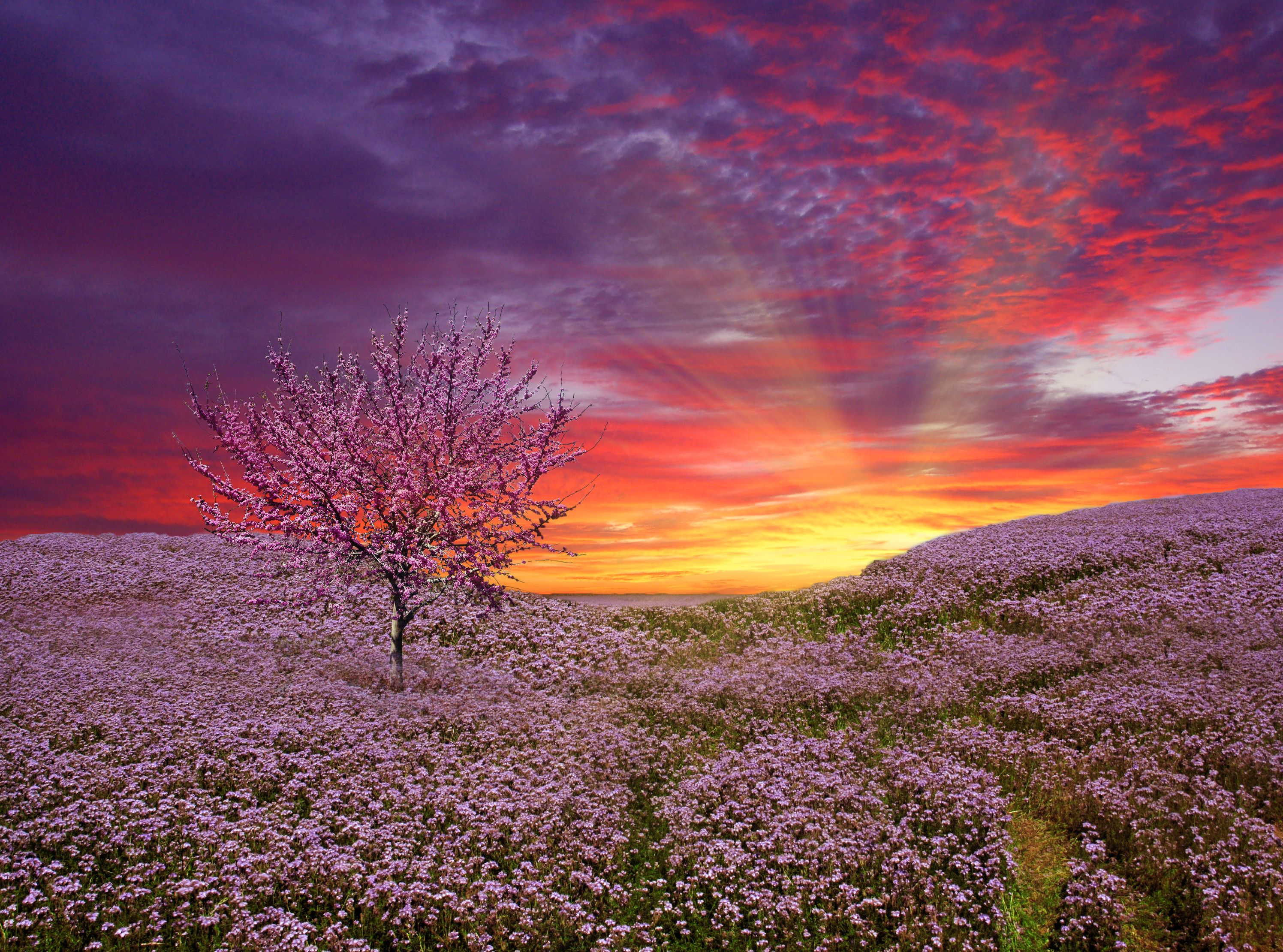 Sunset Pink And Purple Flowers And A Pink Tree Red Sky Sunset Beautiful Nature Lavender Fields Sunset Pink sky sunset sun trees nature