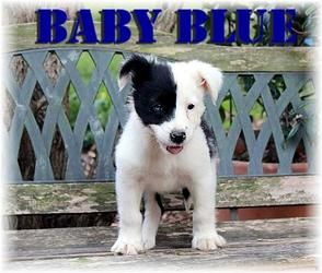 Baby Blue Is An Adoptable Border Collie Dog In Waxhaw Nc Patches